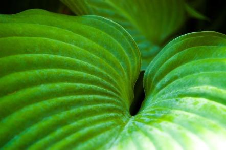 giant-leaf